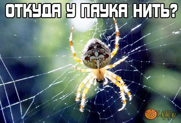 Откуда у паука нить?