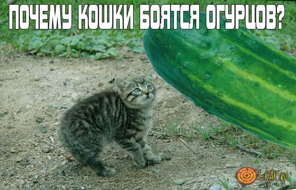 Почему кошки и коты боятся огурцов?