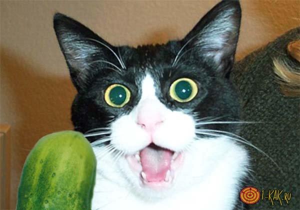 Кошка в ужасе перед овощем