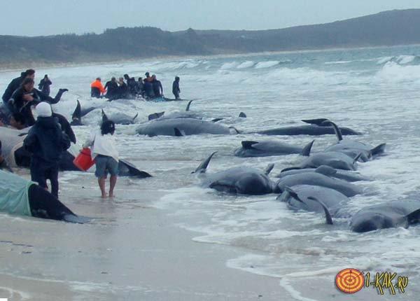 Дельфины на берегу бельгийского залива
