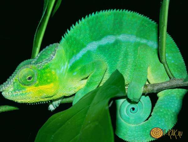 Зеленый хамелеон изменил окраску