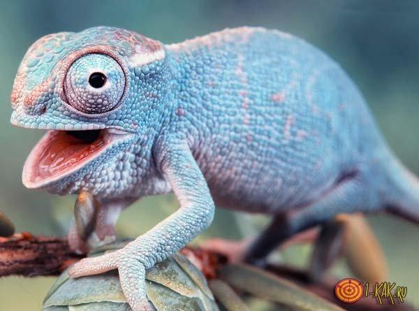 Голубая кожа хамелеона