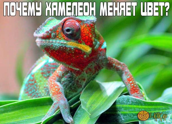 Почему и как хамелеон меняет цвет?