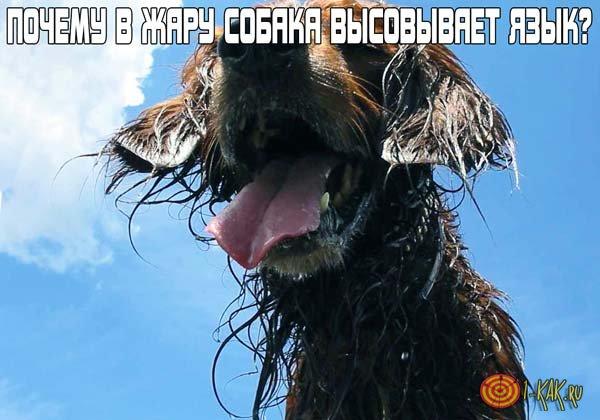 Зачем в жару собака высовывает язык?