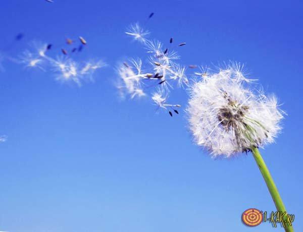 Одуванчик под воздействием ветров
