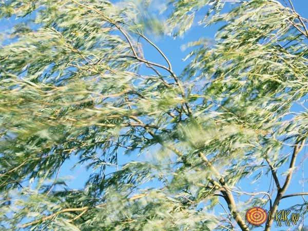 Ветер колышет деревья