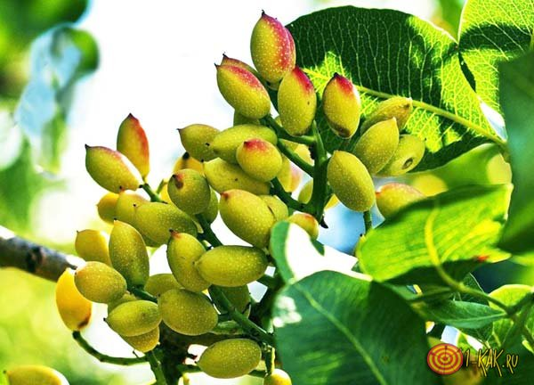 Фисташковые деревья и плоды