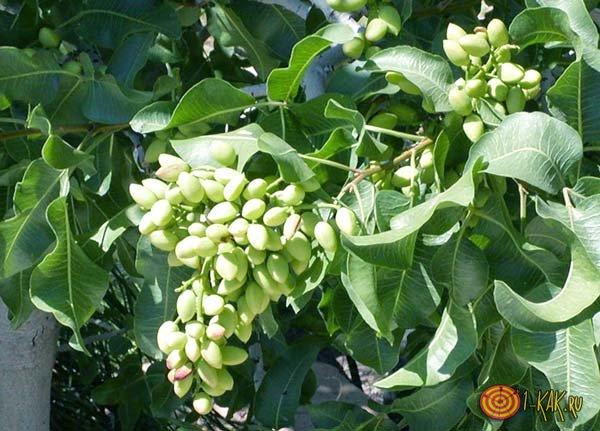 Фисташковое дерево с плодами