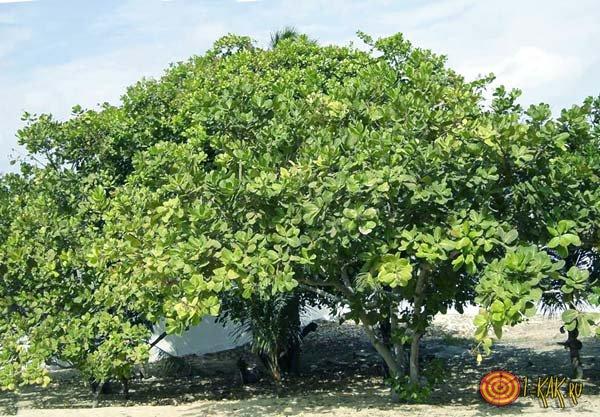 Фисташковое дерево в натуральной природе