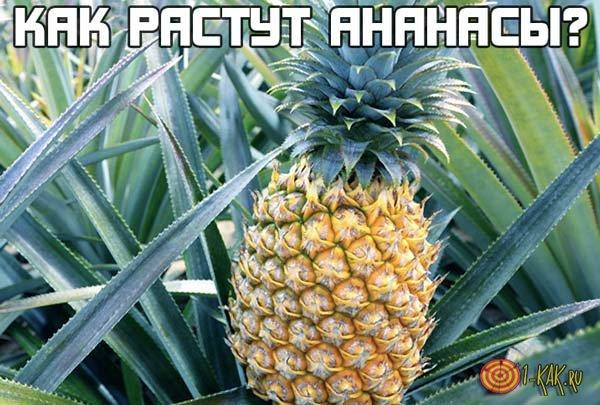 Как растут ананасы на полях