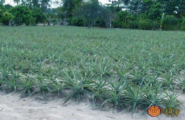 Ананасовая плантация в Тайланде