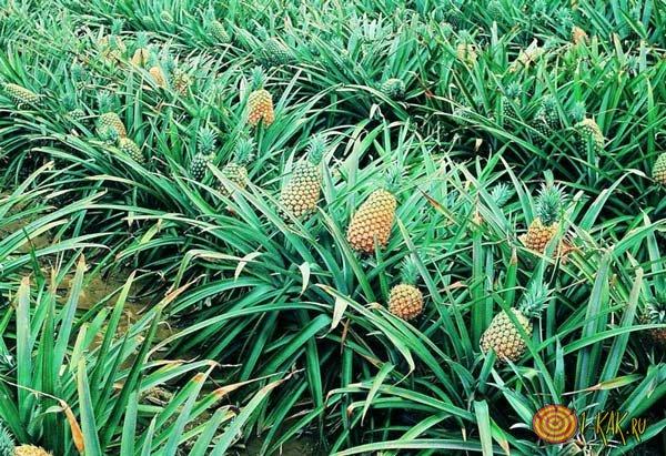 Зеленое поле ананасов