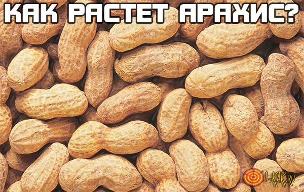 Как и где растет арахис?