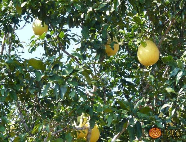Полезный для здоровья человека фрукт