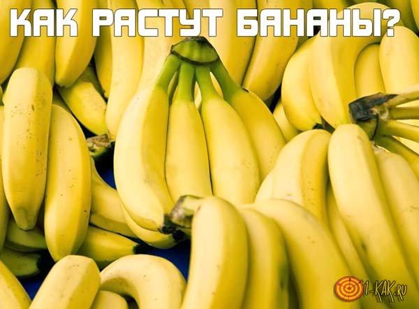 Как растут бананы?
