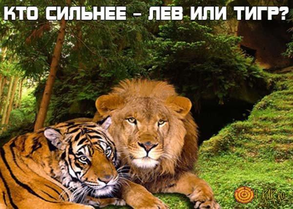 Кто сильнее  - лев или тигр?