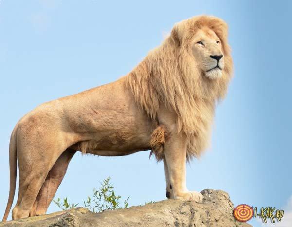 Величественный лев - царь зверей