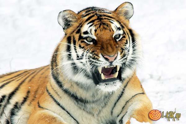 Быстрый и опасный тигр