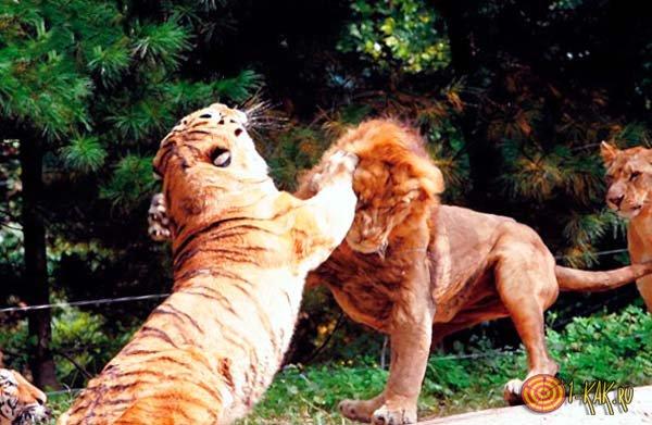 Драка льва и тигра
