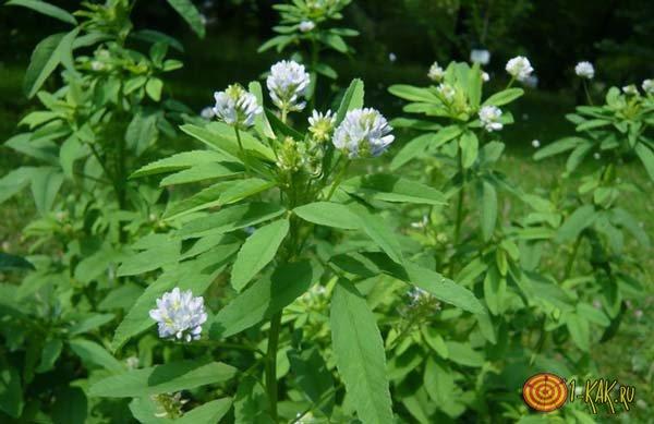 Растение голубой пажитник