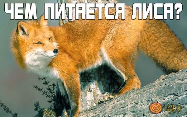 Чем питаются лисы?