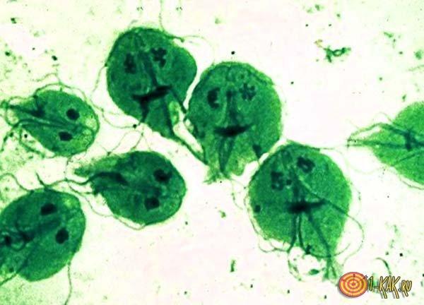 Жиардии под микроскопом