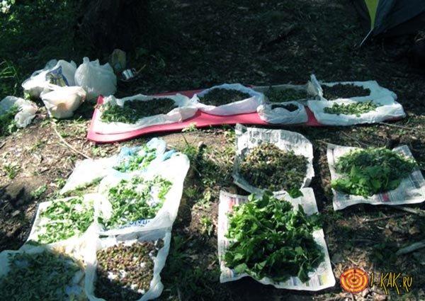 Заготовка травы - солянки холмовой