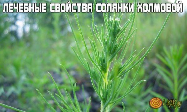 Солянка холмовая - лечебные свойства и противопоказания