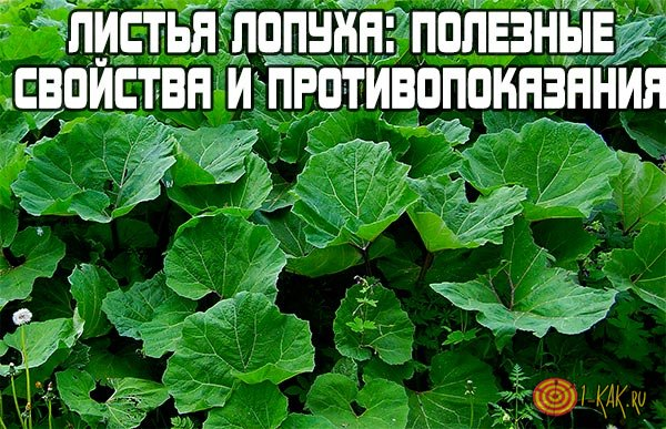 Полезные свойства и противопоказания листьев лопуха.