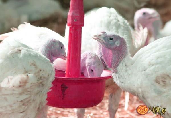 Воспаление слизистой у птиц