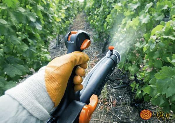 Опрыскивает виноград от паразитов