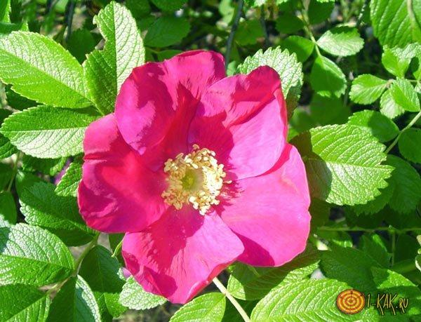 Отличия розы от шиповника