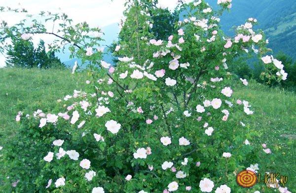Прививают розу на Шиповник