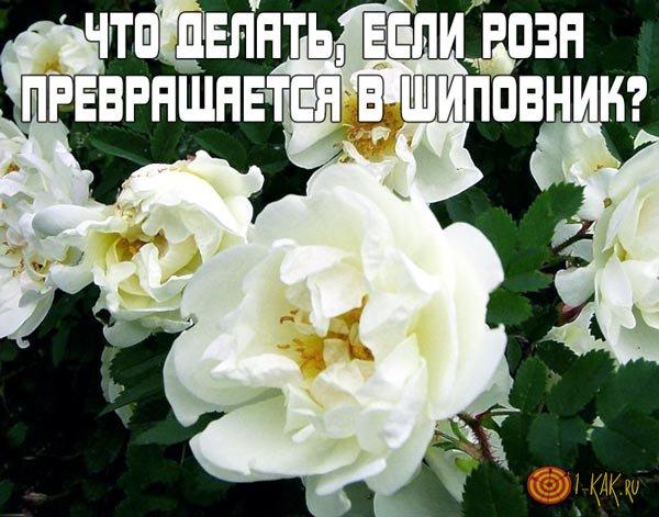 Что делать, если роза превращается в шиповник?