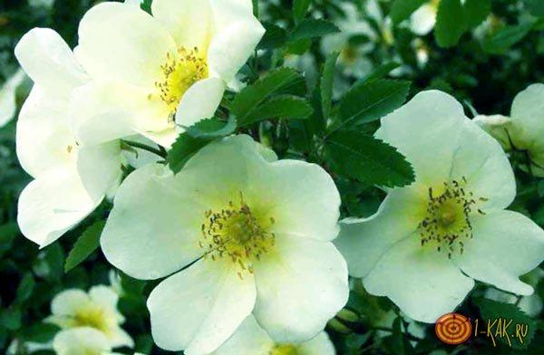 Куст превратился в белые цветочки