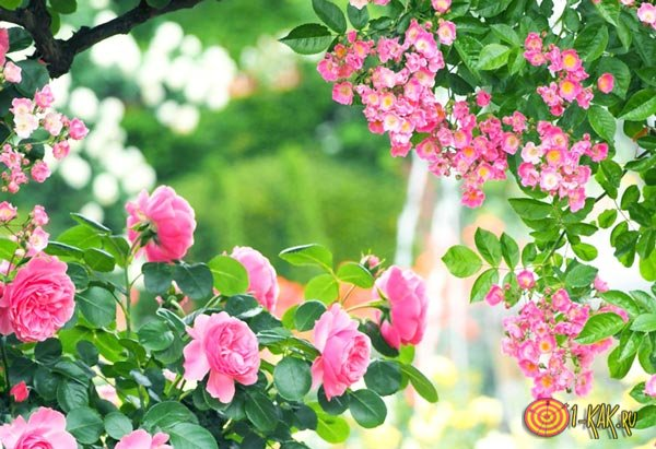 Корни и кусты розы