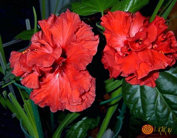 Полезный и вредный красный цветок