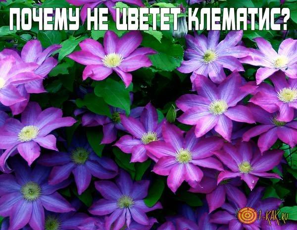 От чего не цветет клематис?