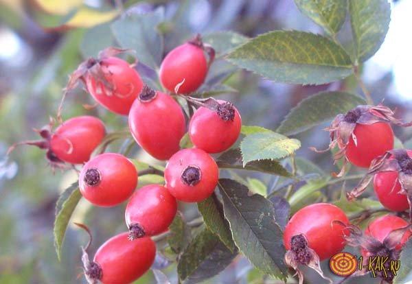 Лекарственные свойства красной ягоды
