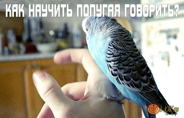 Как можно научить попугая говорить?