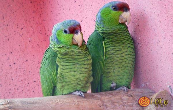 Настоящие говорящие попугаи