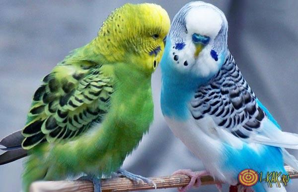 Волнистые попугайчики - пара