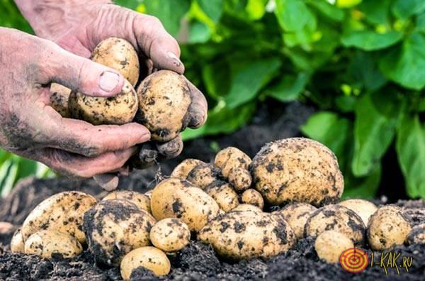 Здоровый картофель на участке