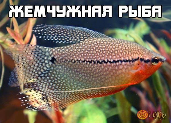Жемчужная рыба - что это такое