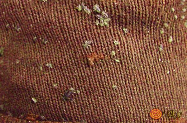платяная вошь на ткани