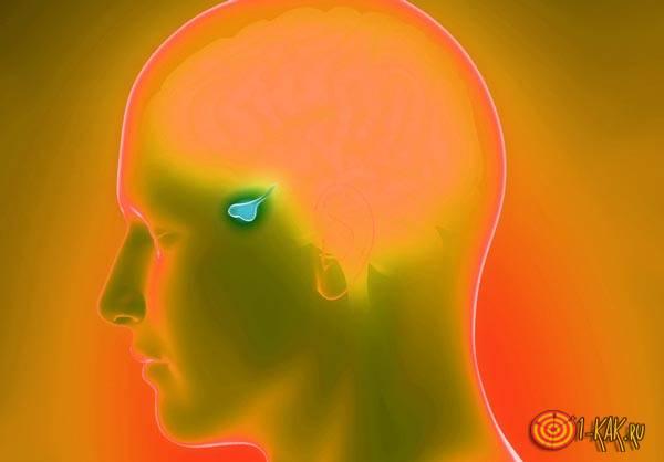 Гипофиз в голове человека