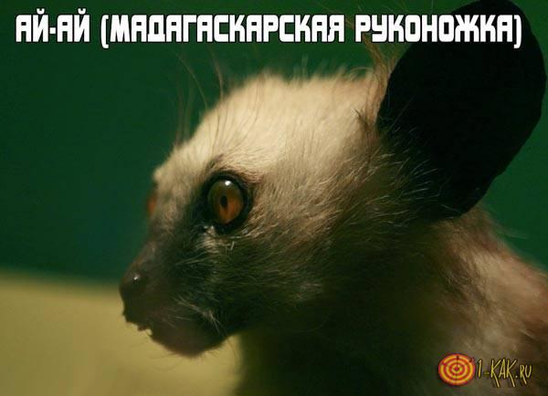 Животное ай-ай (мадагаскарская руконожка)