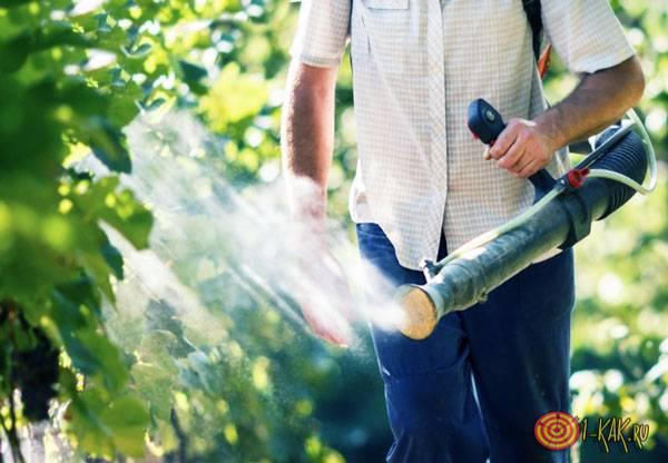 Поливает виноград бордоской жидкостью от вредителей