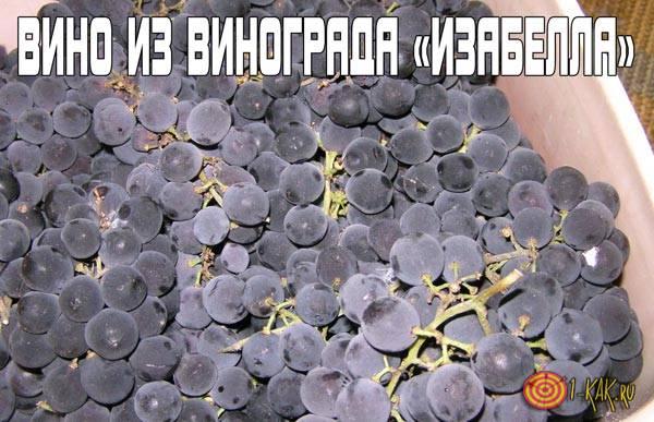 Как сделать вино из винограда «Изабелла»?