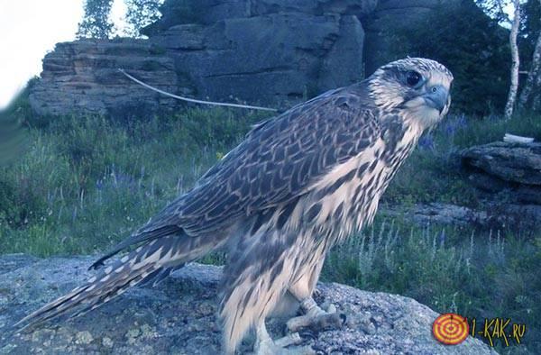Хищная птица на камне